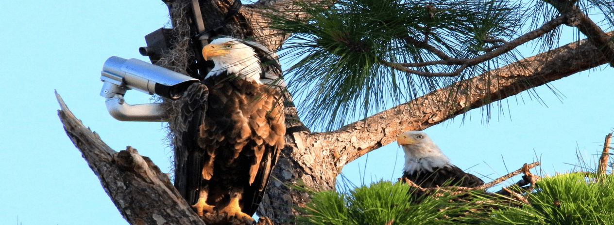 LIVE: The Southwest Florida Eagle Cam Catch up on the latest action of ...